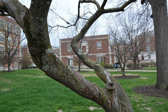 Tree #10 - Nootka Weeping Cypress