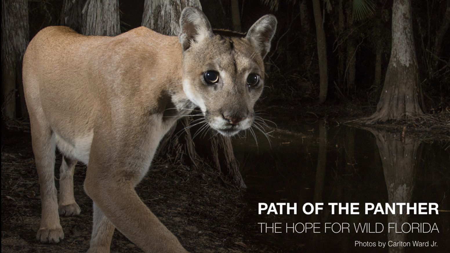 Revealing the story of the Florida panther to help save the Florida Wildlife Corridor and keep the Everglades connected to the rest of America.