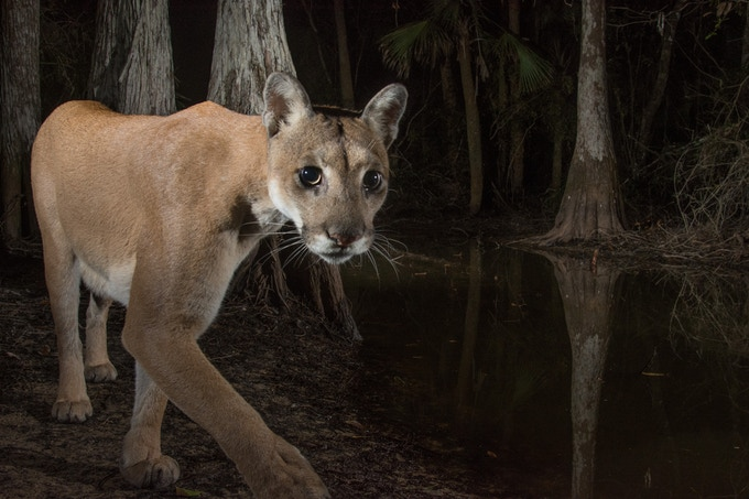 A female Florida panther reclaims historic territory in the Northern Everglades.
