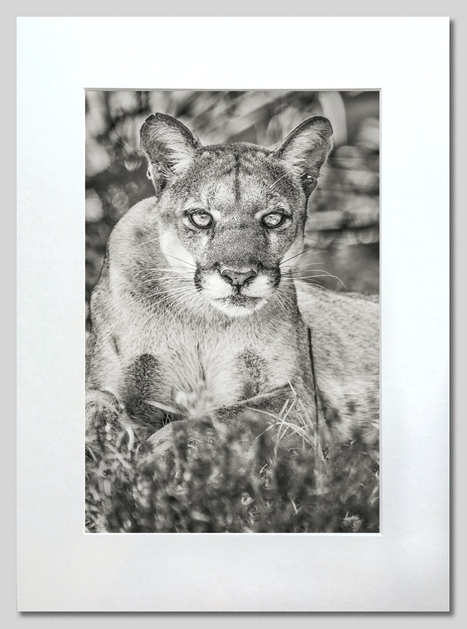 Female Florida panther in the wild at Audubon's Corkscrew Swamp, photographed by Carlton Ward Jr in June 2018. Small matted prints or large limited-edition prints are included with donations of $75 and up.