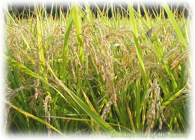 Isehikari rice of Mr.Tamura, which is certified by Organic JAS (Japanese Agricultural Standards)