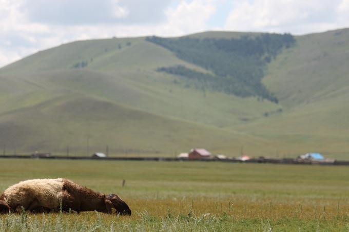 Mongolian Sheep Takin' It Easy
