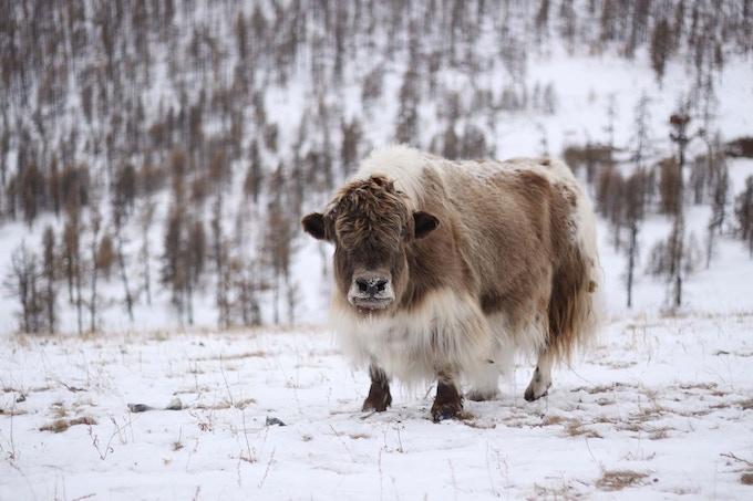 Mongolian Yak With His Winter Coat