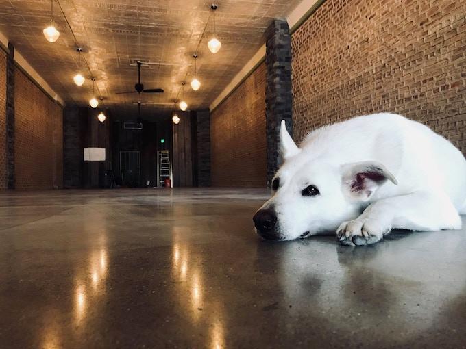 Brewery dog, Strider (aka Good Boy).