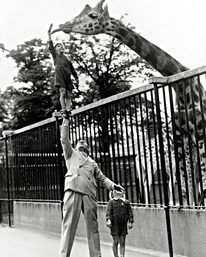 Strongman Paul Remos hoists his son in the air to feed a giraffe at the zoo ( 1930s )/Library of Congress