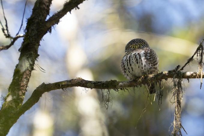 © Pygmy Owl, Redcat 51