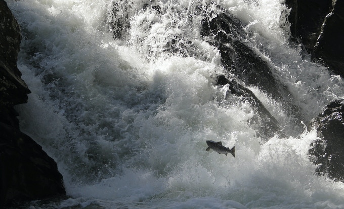 An Atlantic salmon jumping at the Eggafoss on the Gaula River, Norway