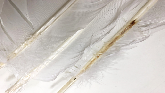 A Goose feather sold on the market with bird blood vessel left inside.
