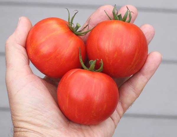 Talvez tomatoes