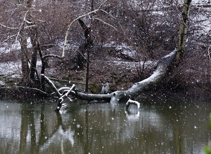 Snowfall Surrounding the Great Blue Heron, Central Park, 2018. Erin Hall