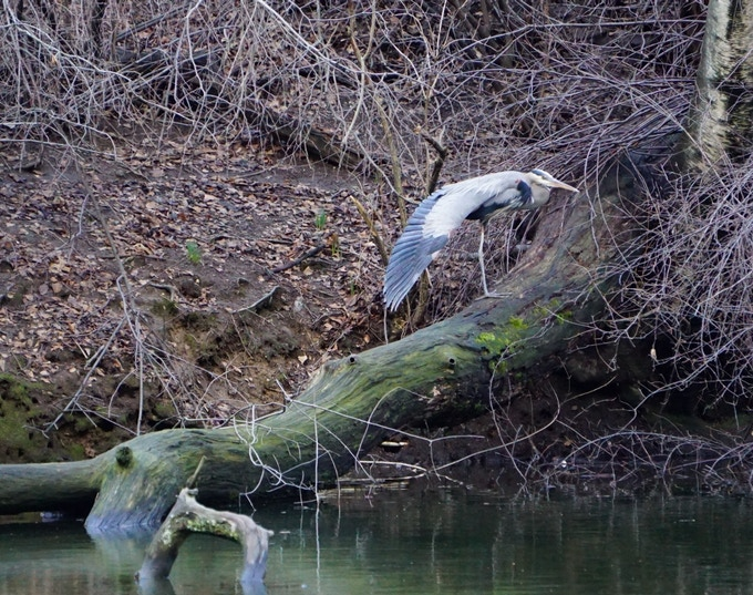 Great Blue Heron--One Leg, One Wing, Central Park, 2018. Erin Hall