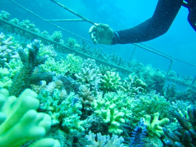 Growing Coral to Save the Ocean Environment