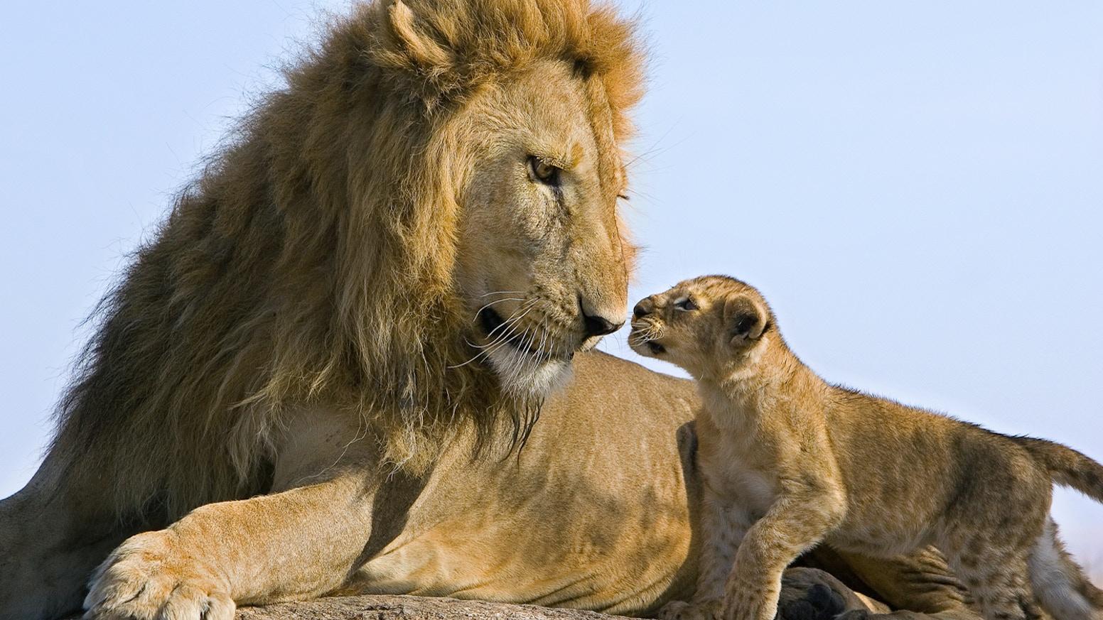 lions - photo #10