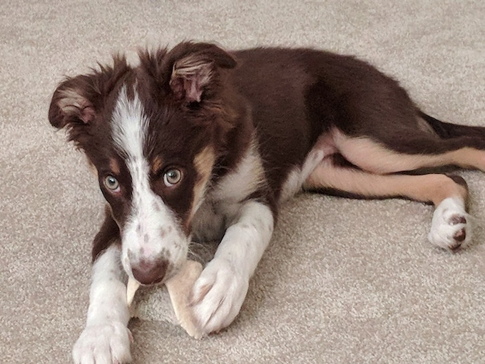 All pins are endorsed and quality checked by none other than Korra, my own beautiful Border Collie pup.