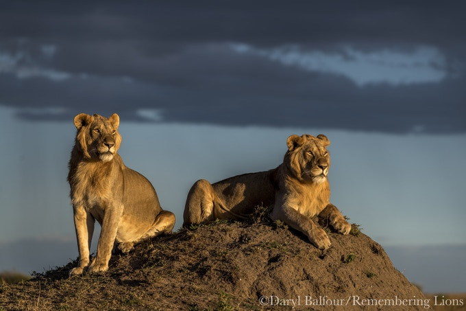 """Lions in Gold"" by Daryl Balfour"