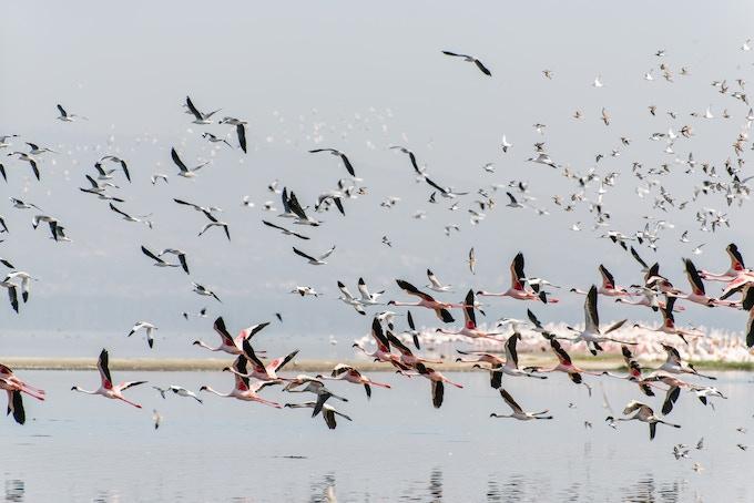 flamingos over Lake Nakuru, Kenya
