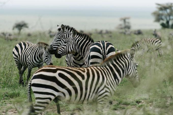 Zebra in the Serengeti, Tanzania