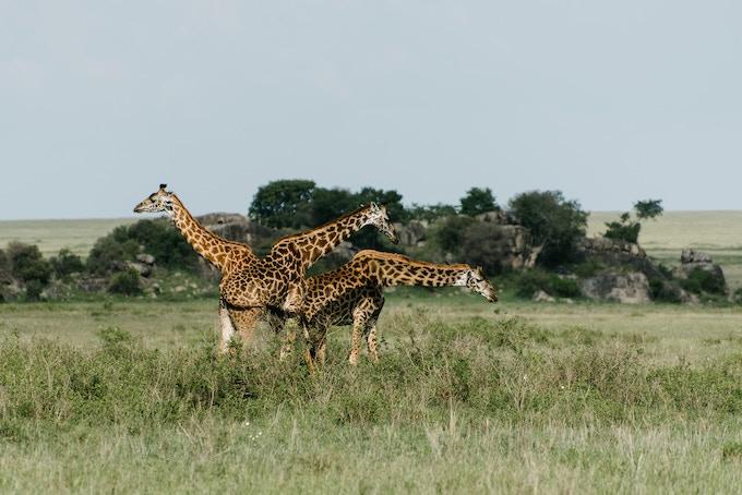 Giraffe in the Serengeti, Tanzania