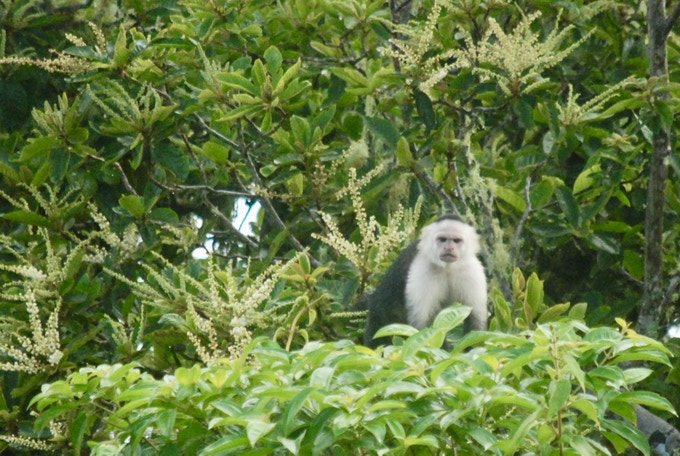 White-faced capuchin staring back
