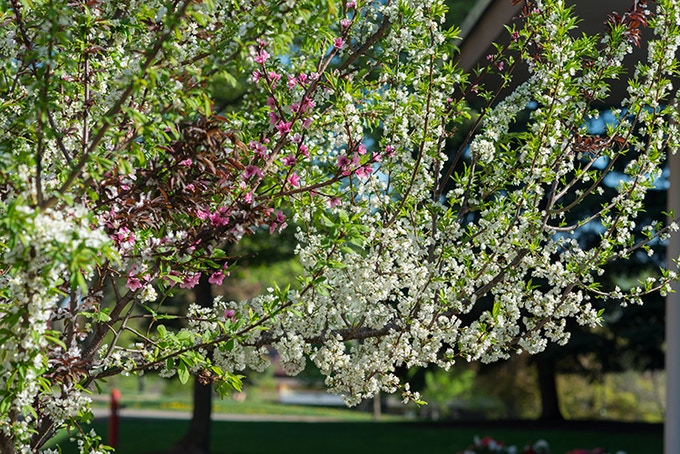 Every spring, the trees will blossom in multiple colors corresponding to their multiple fruit varieties