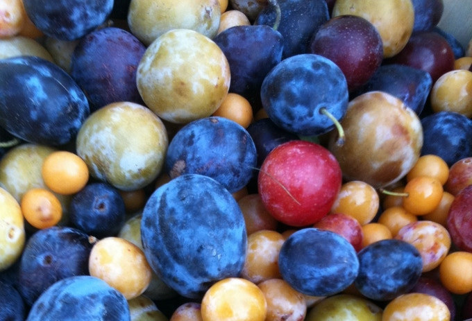 A plum harvest