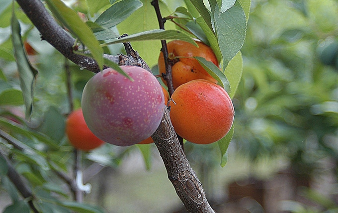 The grafted trees will have multiple fruits growing on their branches, preserving hundreds of varieties in just 50 trees.