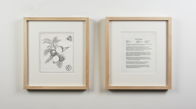 Botanical Drawing 1: Common Damson (Plum) (2018), Copper Plate Etching and Letter Press Description, 15 ½ x 17 inches. Framed.
