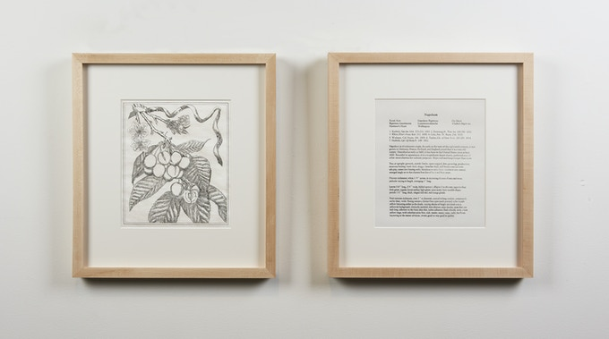Botanical Drawing 2: Napoleon (Cherry) (2018), Copper Plate Etching and Letter Press Description, 15 ½ x 17 inches. Framed.