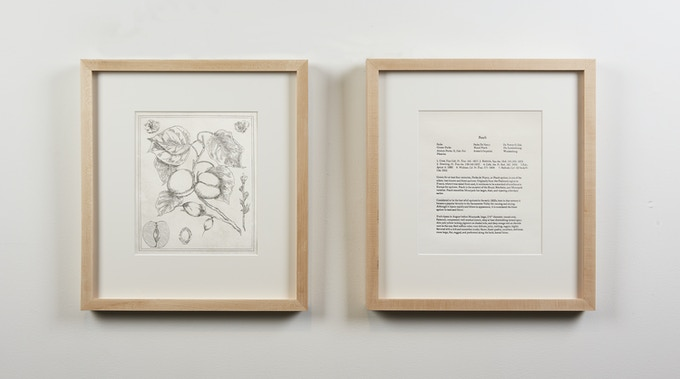 Botanical Drawing 3: Peach (Apricot) (2018), Copper Plate Etching and Letter Press Description, 15 ½ x 17 inches. Framed.