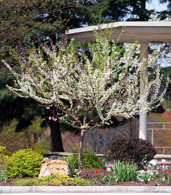 One of Sam Van Aken's custom-grown trees