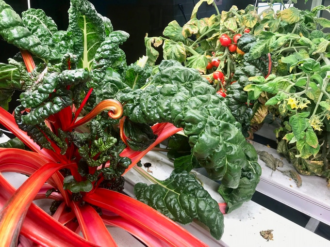Aquaponic Based NFT System Add-On Experiment Growing Decorative Swiss Chard & Vining Cherry Tomato Crops Simultaneously Successfully !