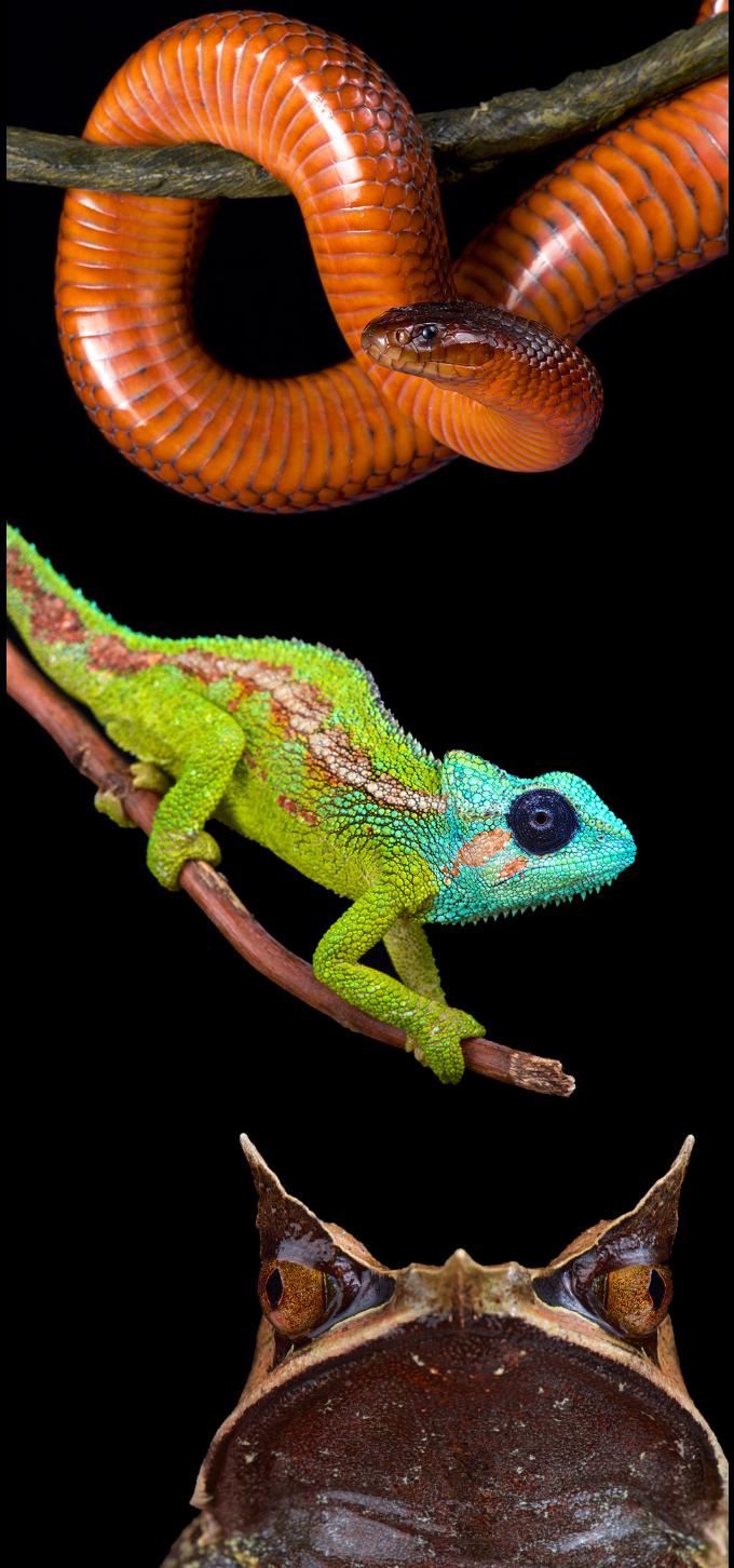 From top to bottom: Collet snake, Mount Hanang chameleon, Malayan horned frog