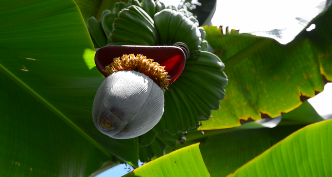 A banana flower and bananas viewed from below