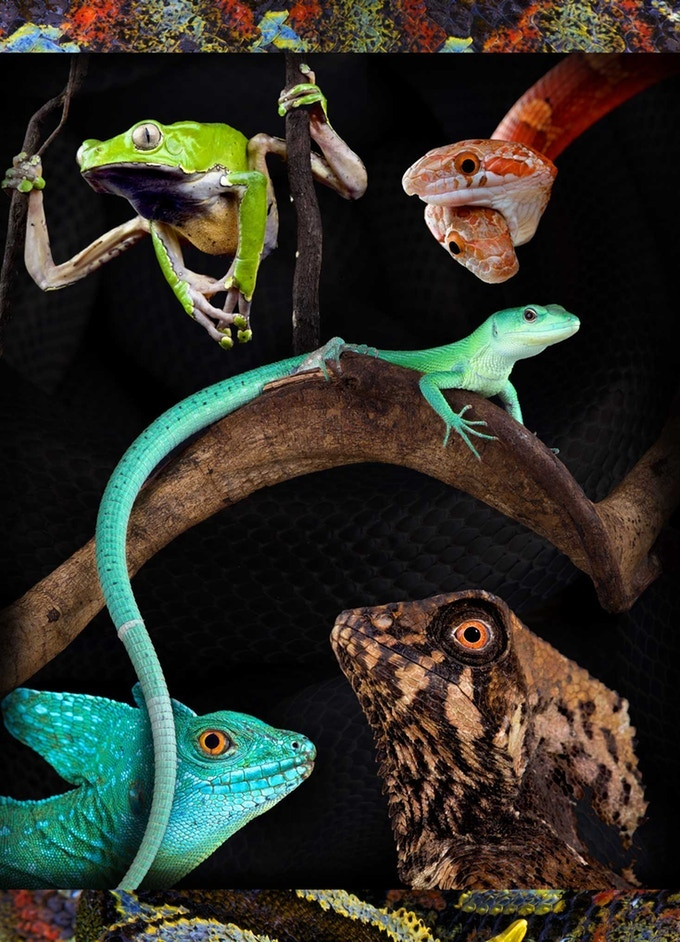 From top to bottom: Giant monkey frog, Two-headed corn snake, Green Keel-bellied lizard, Plumed basilisk, Smooth helmeted iguana