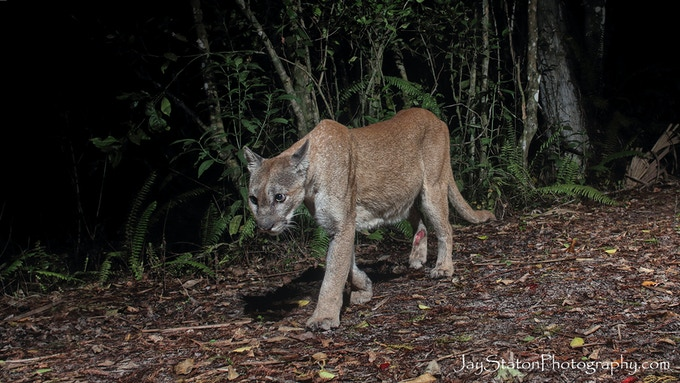 This picture was taken with a DSLR camera trap.  It shows the relative health of the cat.  However, it also shows the cat has a major wound on its right hind leg.