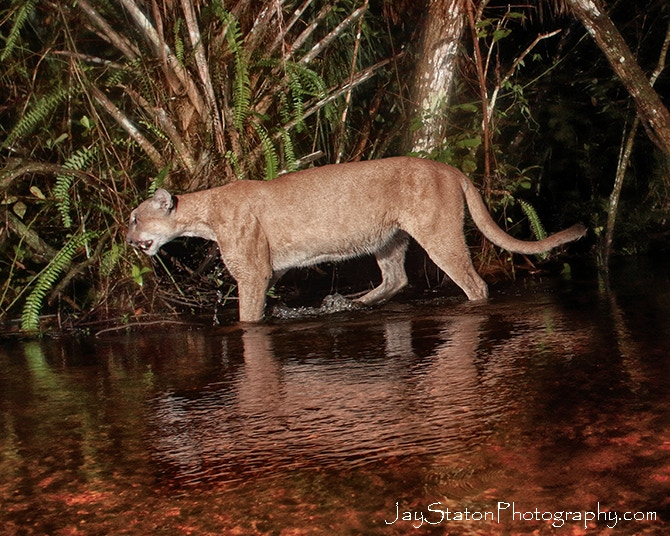 "Here a panther was walking in swamp.  The video below captured rare footage of a panther walking through 18"" of swamp as it was headed for better hunting habitat."