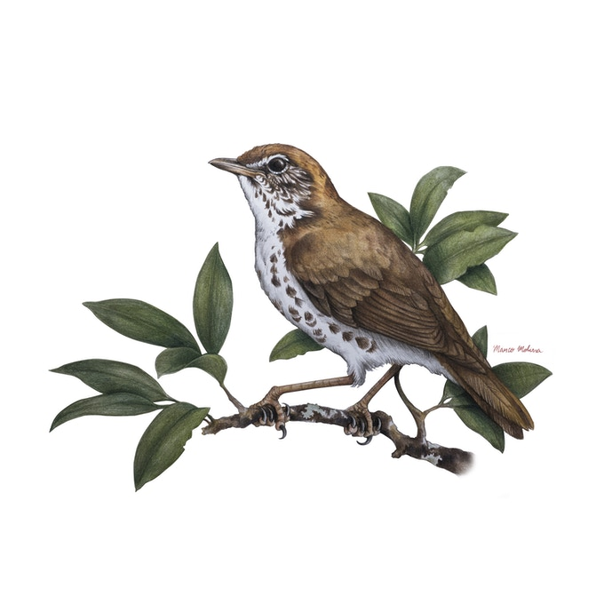 initial design for sticker | migratory wood thrush, by Marco Molina