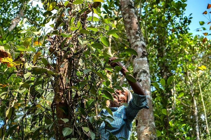 Black pepper harvest of March 2019, Idukki, Kerala