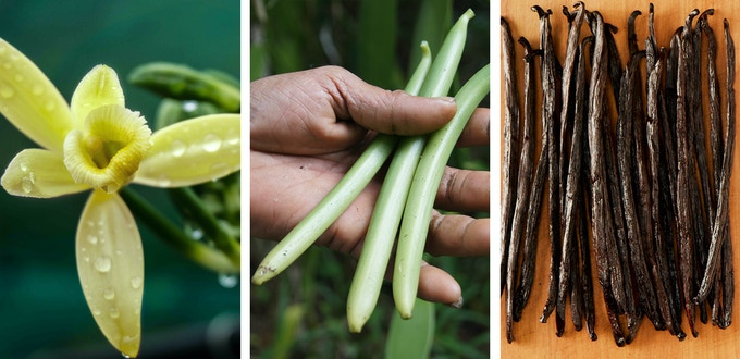 Vanilla from flower, to bean, to dried.