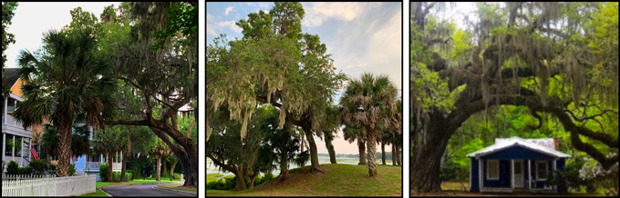 "The ubiquitous mossy oaks and sabal palmetto trees are visual hallmarks of the South Carolina sea islands. (Rightmost image modified from ""Live Oak with Spanish Moss on Daufuskie"" originally created by Wikimedia user Cochrane21. Usage and modifications permitted under Creative Commons Attribution-Share Alike 4.0 International license)"