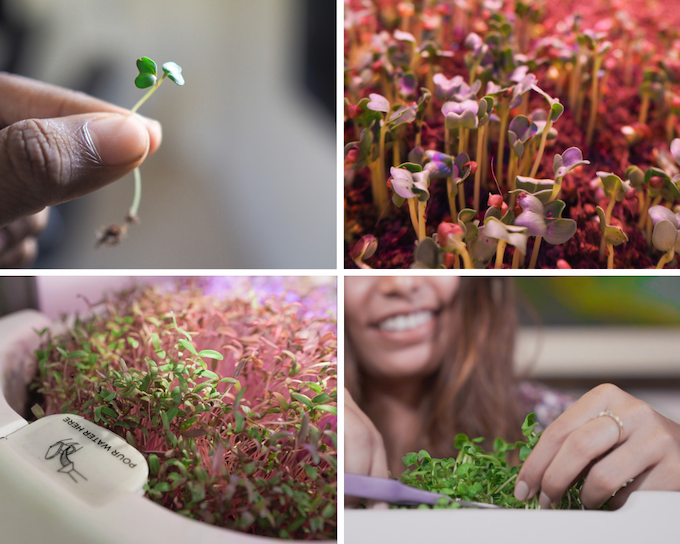 Harvesting microgreens is one of the most fun things you would do on your Herbstation.