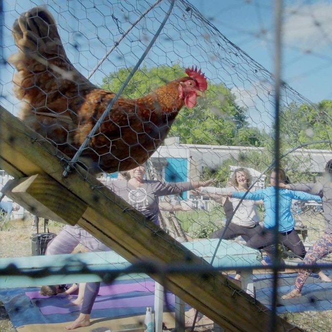 Upwardly mobile farm hen on Comcast Cares installed ramp observes Enough: Food Apartheid yoga event led by Kennae Miller of Transformation Yoga and Kate Counts of Evolve Charleston. (Photo credit Bridget Besaw)
