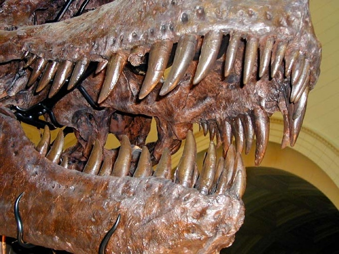This carnivore had no trouble sinking its teeth into its prey.