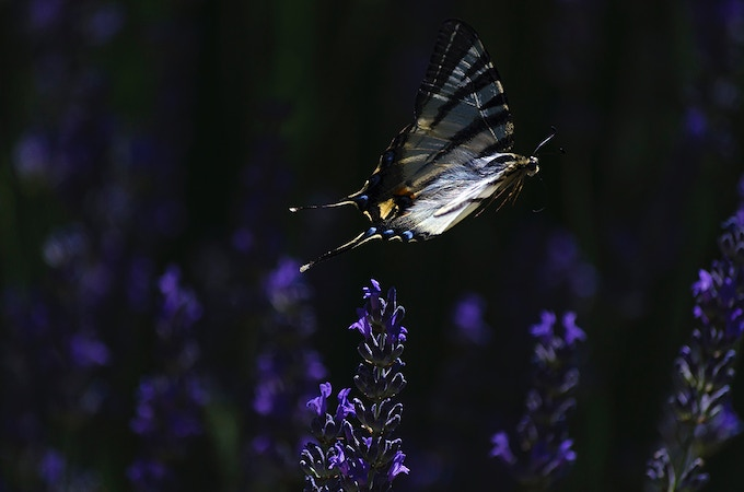 The sheer energy and beauty of the butterfly's flight creates a powerful, living symbol for the works of conservationists - scientists, staff and volunteers - in their bid to restore and preserve ecosystems vital to the earth's health.