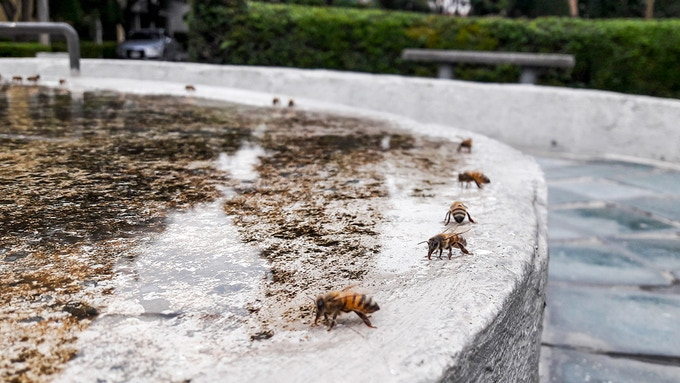 Todos los días me encuentro con una fuente donde abejas sedientas se detienen a tomar agua. / Every day I come in front of a fountain where thirsty bees stop to drink from.