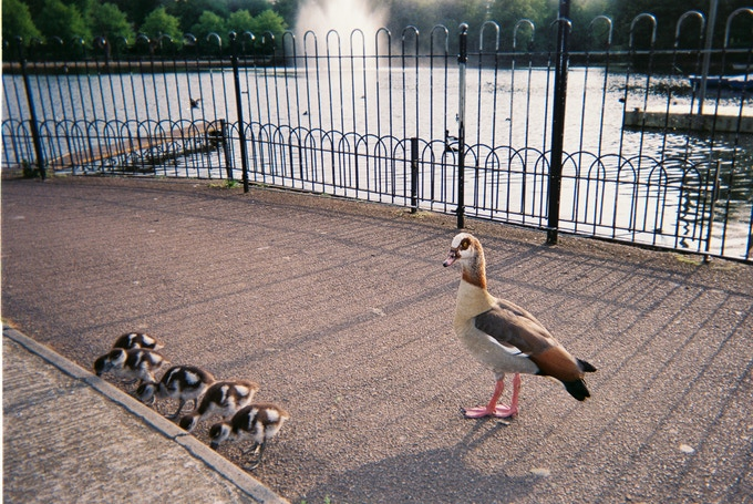 """Goslings, Victoria Park, by Richard Riley. April 2020 in MyLondon calendar. """"It's just some geese I stumbled across while walking around Victoria Park they're brilliant. Near the Pavilion. I just stumbled across them."""" Richard attends a day centre called Pritchard's Road run by Tower Hamlets council."""