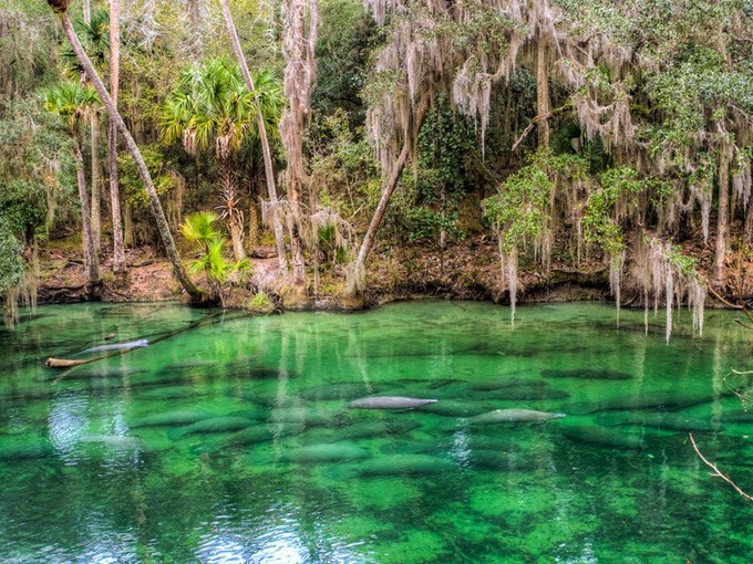 Manatees at Blue Spings State Park