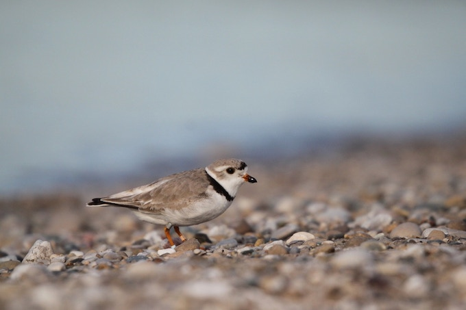 A nesting piping plover near Glen Arbor, Mich.