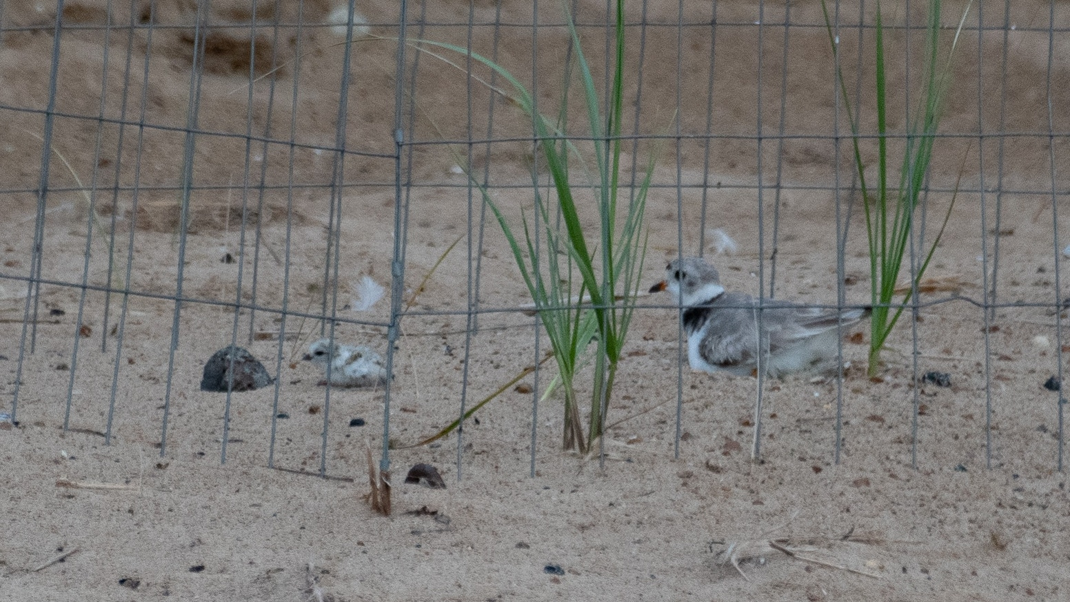 A short about Monty and Rose, a pair of endangered piping plovers, and the birds of Montrose Point in Chicago.