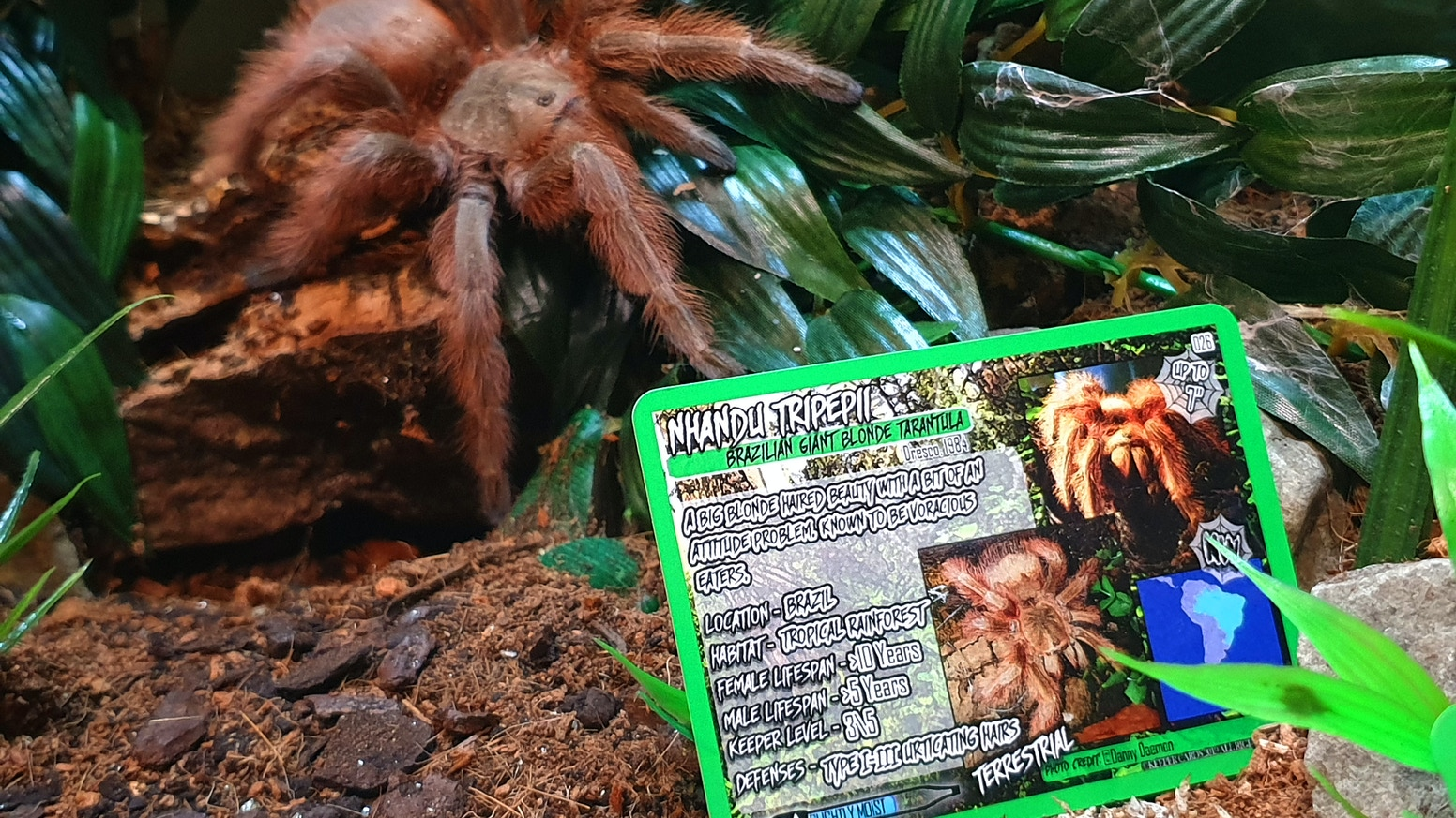 Tarantula information cards for fans of tarantulas, inverts and those in the hobby of keeping them.